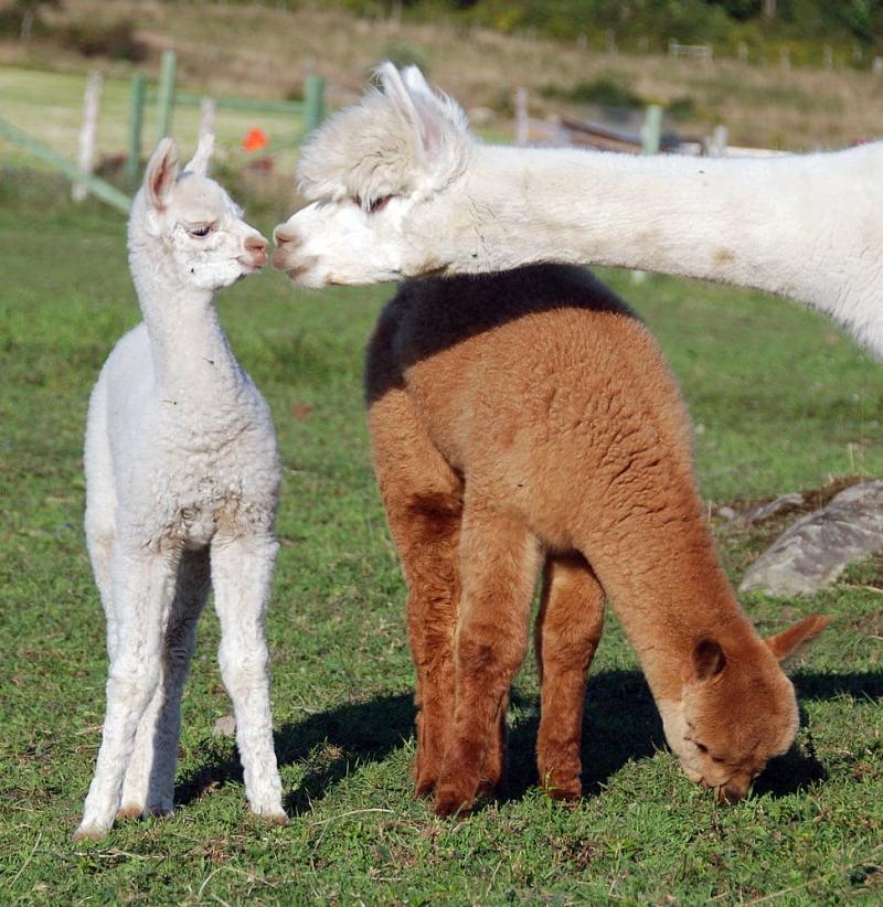 Baby Alpacas | www.pixshark.com - Images Galleries With A ...